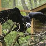 Kondorkeselyű, más néven andoki kondor (Vultur gryphus) a Nyíregyházi Állatparkban 2015. április 29-én. A Dél-Amerikában őshonos dögevő, tenyészérett tojó a németországi Wuppertal állatkertjéből érkezett és Magyarországon az egyetlen kondorkeselyű.   MTI Fotó: Balázs Attila