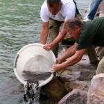 Menyhalakat telepítenek a Balatonba a tihanyi kompkikötőnél 2015. június 29-én. A Balatoni Halgazdálkodási Zrt. szakemberei több mint hatszáz példányát telepítettek vissza a Balatonba a rejtőzködő életmódot folytató, csak télen aktív halfajból, amely az 1965-ös nagy halpusztulás idején tűnt el a tóból. A menyhal ragadozó, kisebb halakkal, csigákkal, rovarokkal táplálkozik. MTI Fotó: Nagy Lajos