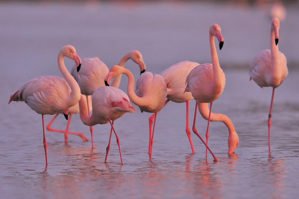 Illusztráció - rózsás flamingók (Fotó: AFP)