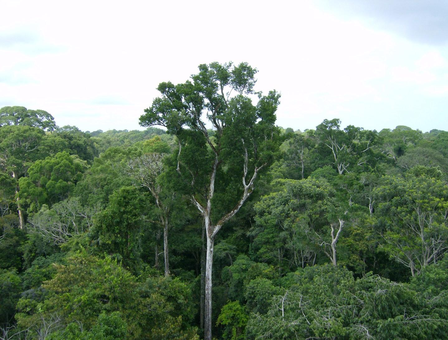 Idős amazonasi fák a brazíliai Tapajós Nemzeti Parkban (Fotó: NASA/JPL-Caltech)