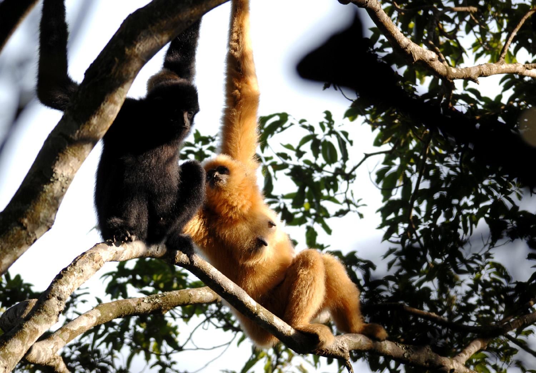 Hajnani gibbon (Fotó: AFP)