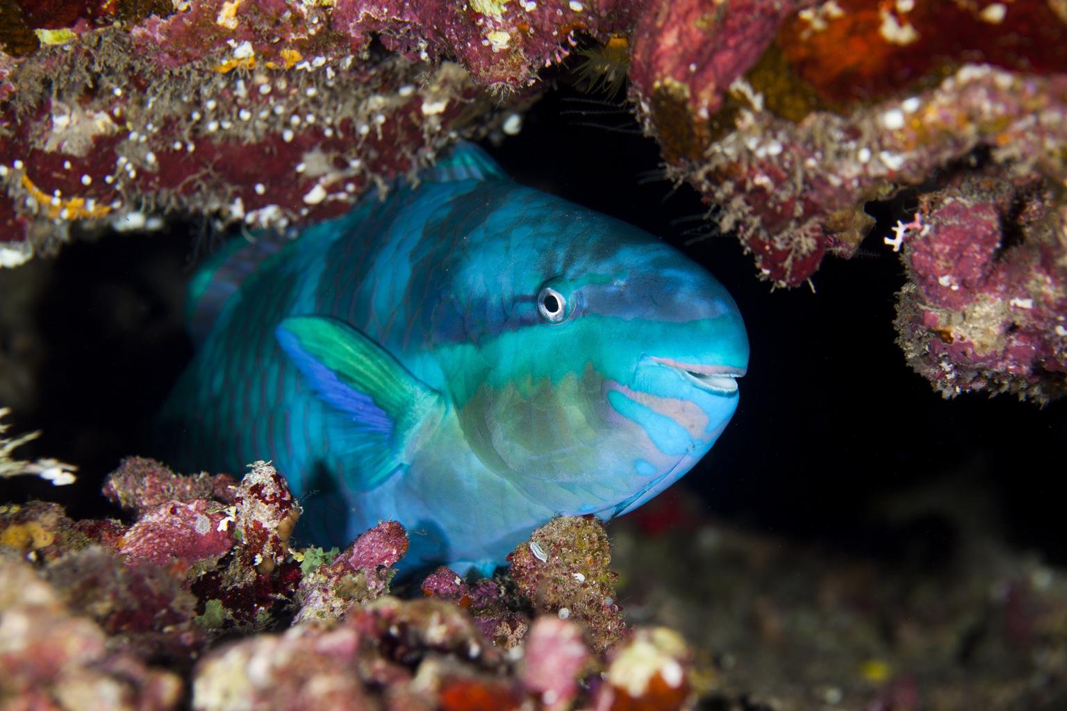 Papagájhal korallzátonyon (Fotó: AFP)
