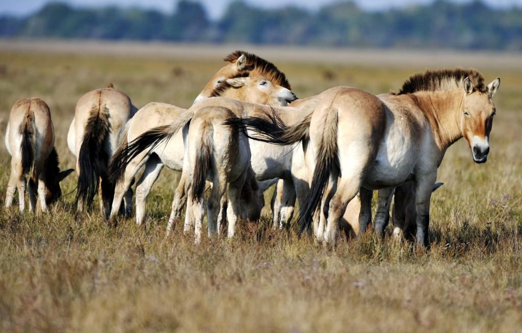 Przsevalszkij-vadló (Equus ferus przewalskii) kancák a Hortobágyi Nemzeti Parkban. A hortobágyi pusztán zajló vadló fajmentő programot 1997-ben 21 darab, Mongóliából és több európai állatkertből behozott ló szaporításával kezdték, a populáció jelenleg 240 egyedből áll. A mongol állományon kívül hazánkban él a világon a legnagyobb szabadon élő Przsevalszkij-vadló populáció, amelyet az érdeklődők már webkamerák segítségével is láthatnak. (MTI-fotó: Beliczay László )