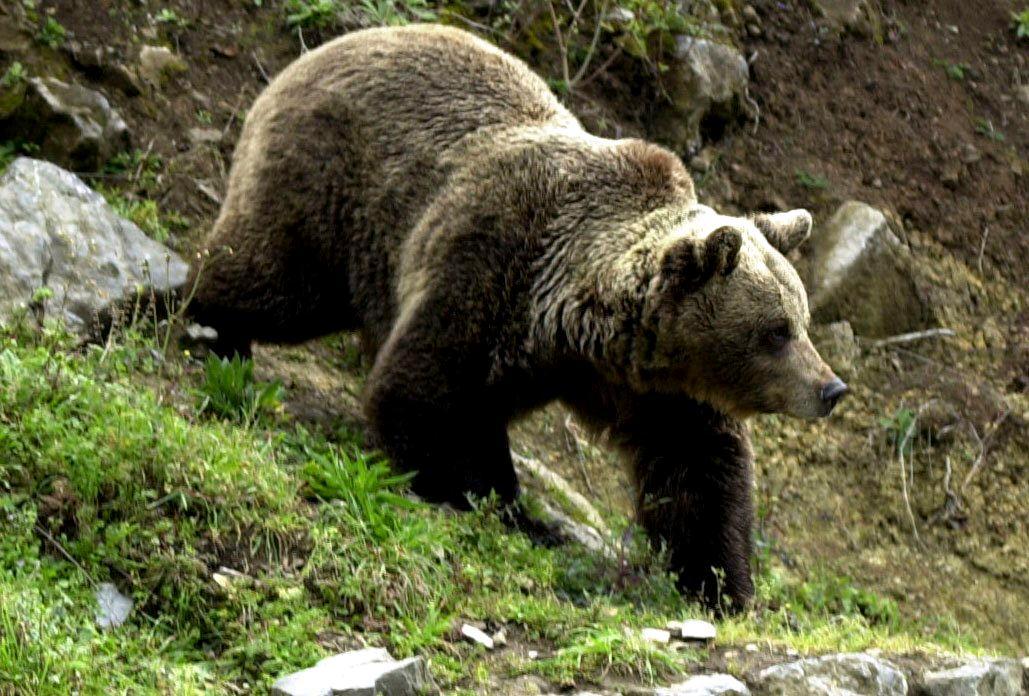 Az észak-spanyolországi Proazában levő Nemzeti Park 85 medvéje közül az egyik kószál a parkban 2000. december 30-án. Összesen 15 barna medve született Cantabria területén 2000-ben, ami rekordnak számít ennél a veszélyeztetett fajnál. (MTI FOTÓ/EPA/EFE/J.L.Cereijido)