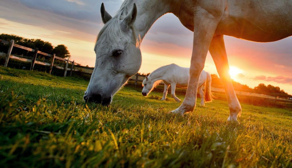 Lovak legelnek a lemenő nap fényében a Hannovertől 15 kilométerre, délkeletre fekvő Sehndében 2014. június 5-én. (MTI/EPA/Julian Stratenschulte)