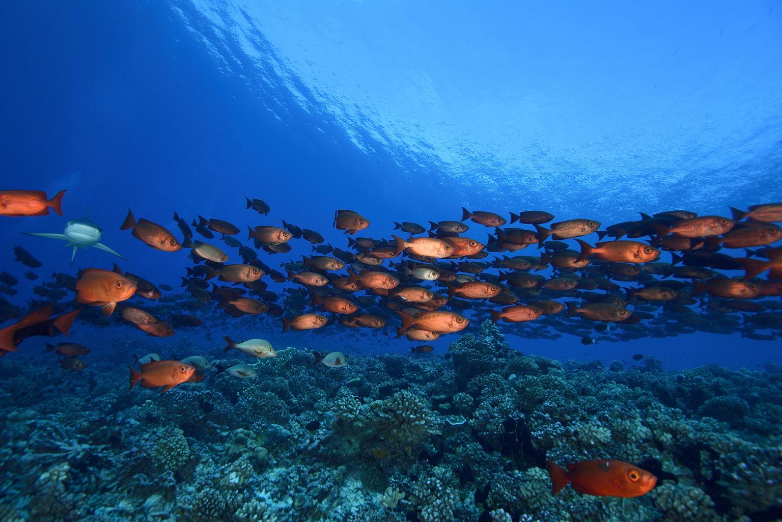 Priacanthus hamrur halfaj korallzátonynál. (Fotó: AFP)