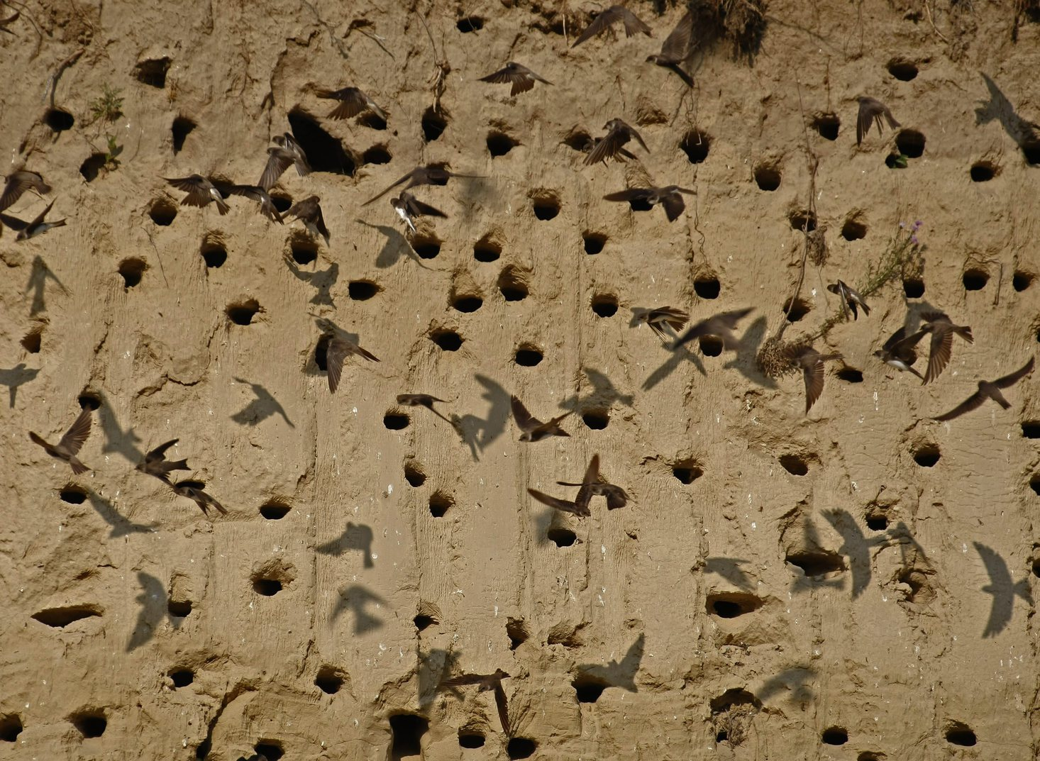 Partifecskék (Riparia riparia) repkednek homokfalba vájt fészkeik körül Nemesnádudvar közelében 2015. július 2-án. MTI Fotó: Bugány János