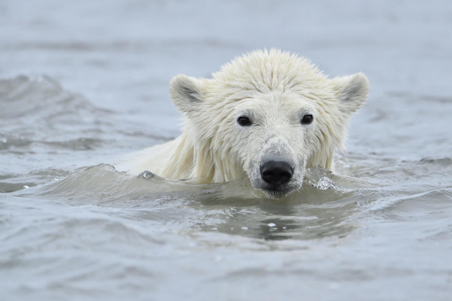 Jegesmedve Alaszkában. (Fotó: AFP)
