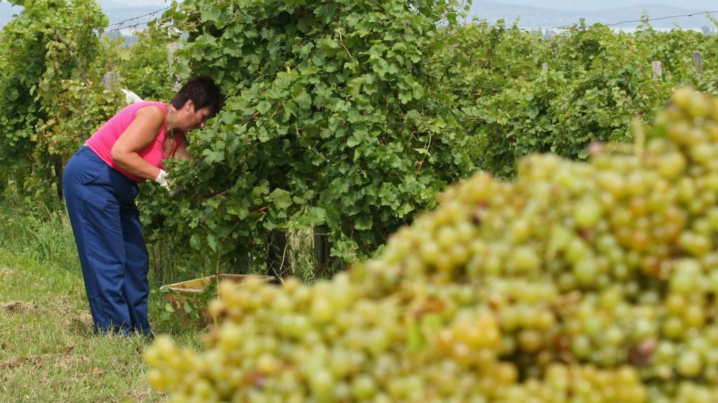Veszélyben a szőlőtermesztés a Balatonnál?