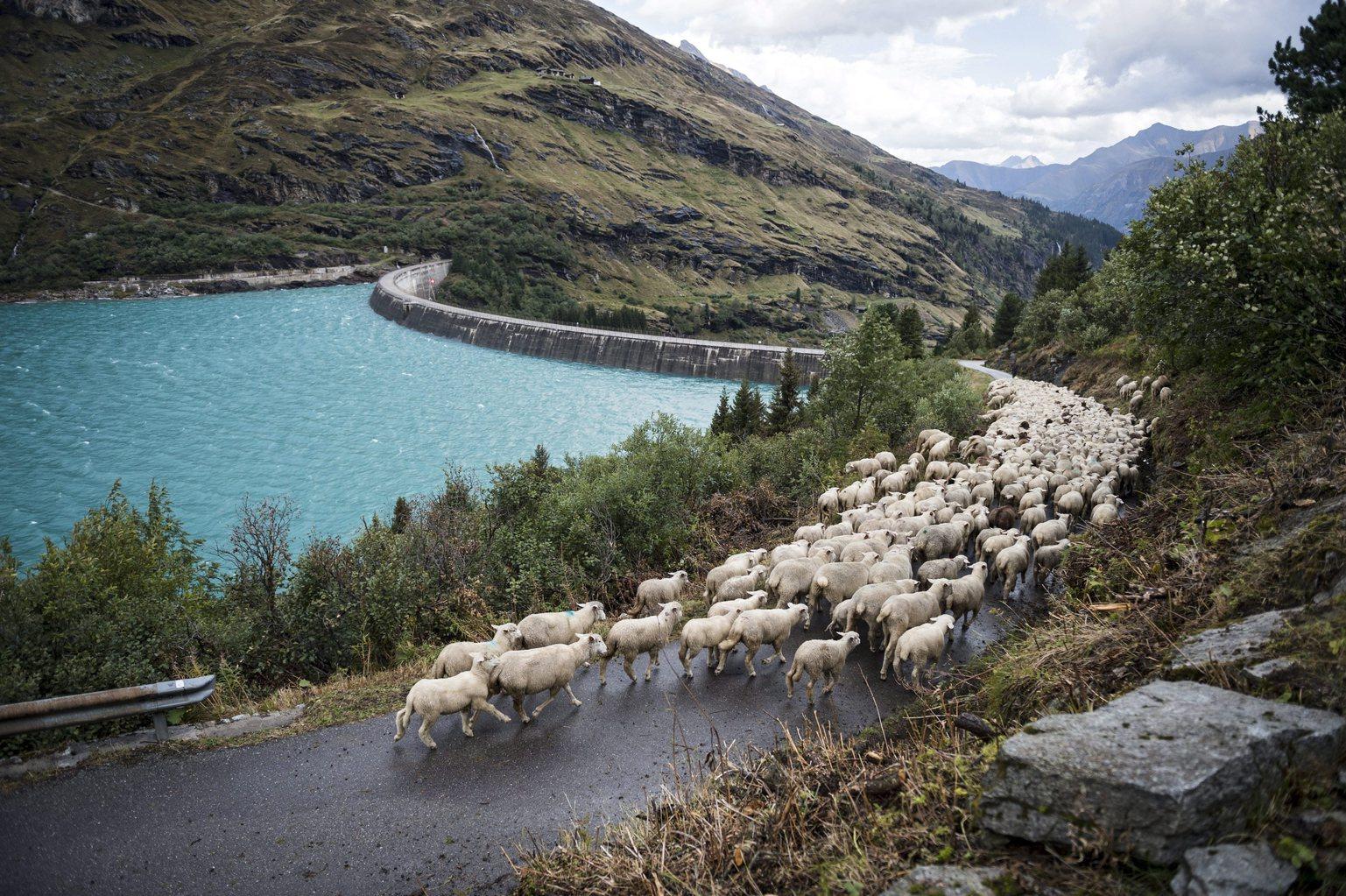 Több száz juhot terelnek a nyár végeztével az alacsonyabban fekvő legelőkre a svájci Valsban 2015. szeptember 17-én. (MTI/EPA/Gian Ehrenzeller)