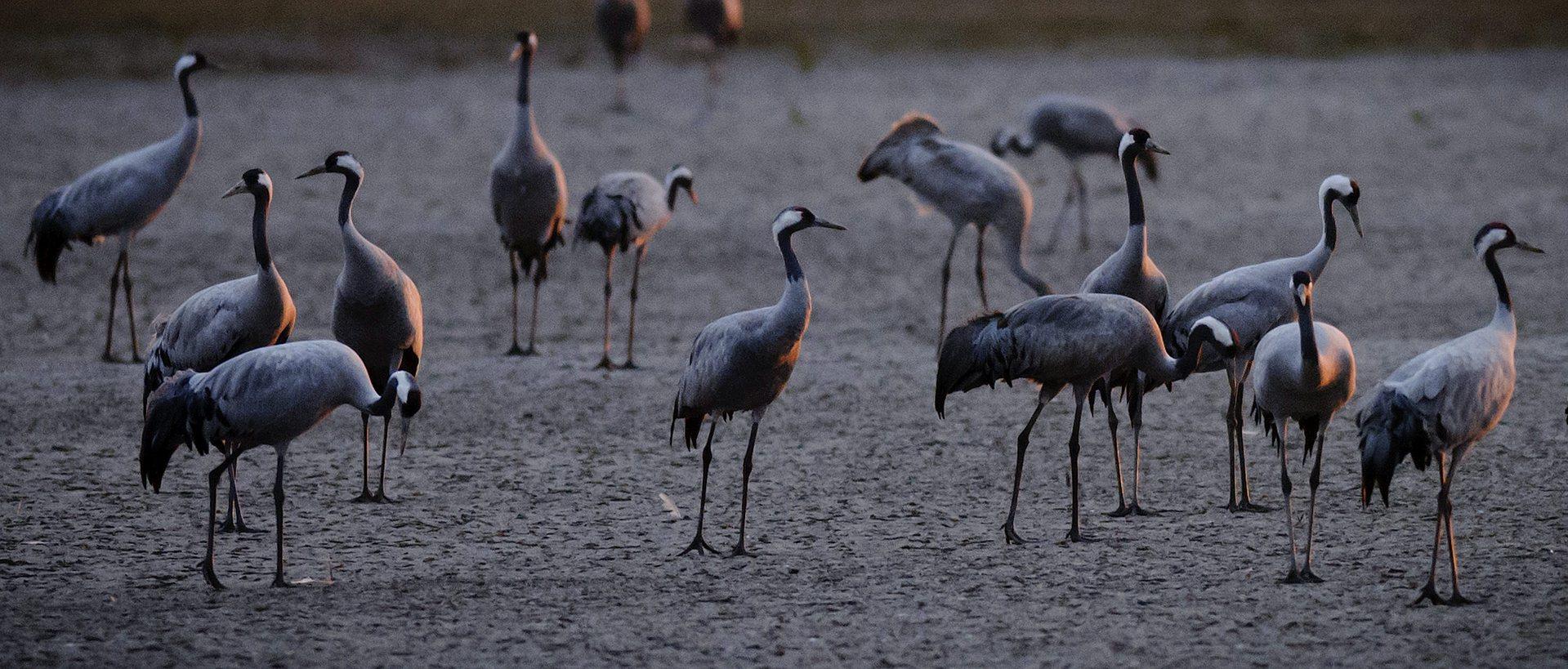 Szürke darvak (Grus grus) pihennek Hortobágyon az Elepi tóegység Felső-laposi tava mellett, mielőtt éjszakázó helyükre repülnének 2012. október 13-án. Európa legnagyobb darugyülekező helyén, a Hortobágyi Nemzeti Park területén az október 11-i számlálások szerint közel 54.000 daru tartózkodik. Az Észak-Európából (zömmel Finnországból) szeptember második felében érkező madarak a komolyabb fagyok beköszöntéig maradnak. (MTI Fotó: Czeglédi Zsolt)