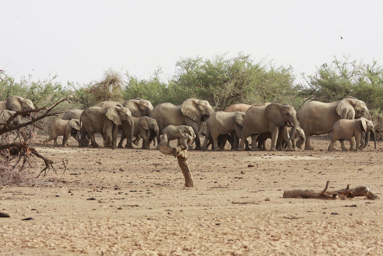 Sivatagi elefántok csordája vizet kutat Mali aszály sújtotta Gourma-régiójában 2009-ben. (Fotó: Reuters/Jake Wall)