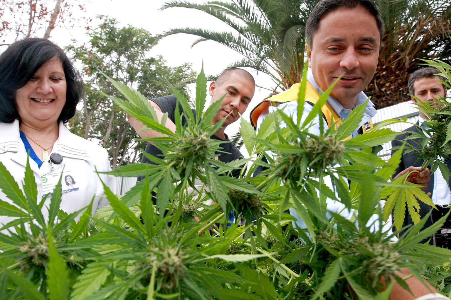 Cannabis palánták Chile fővárosában, Santiago de Chilében 2015. április 7-én. (Fotó: Reuters/Gabriel Gatica)