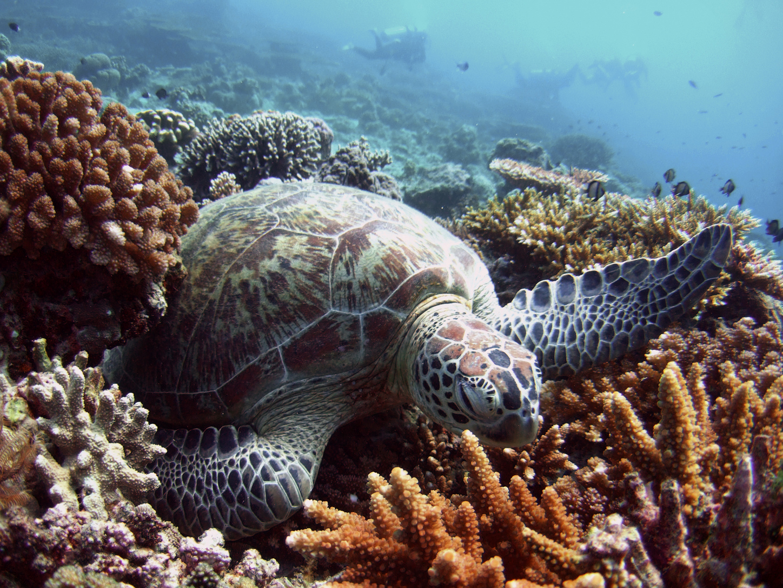 Közönséges levesteknős pihen egy korallágyon a malajziai Sipadan-sziget közelében. (Fotó: Reuters/David Loh/)