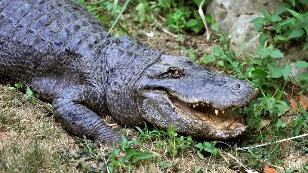 Nem az aligátor ölte meg azt a floridai férfit, akinek keze és lába a hüllő gyomrából került elő