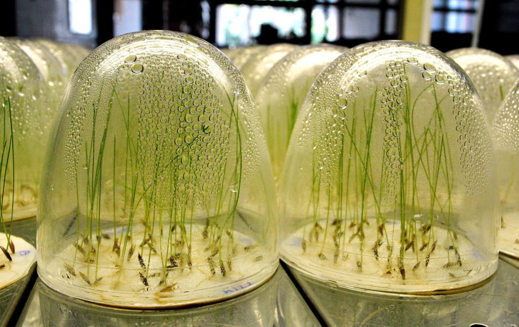 A Mezőgazdasági Szakigazgatási Hivatal (MGSZH) szakemberei a laboratóriumban vizsgálják a forgalomba hozott vetőmagokat. MTI Fotó: Balaton József