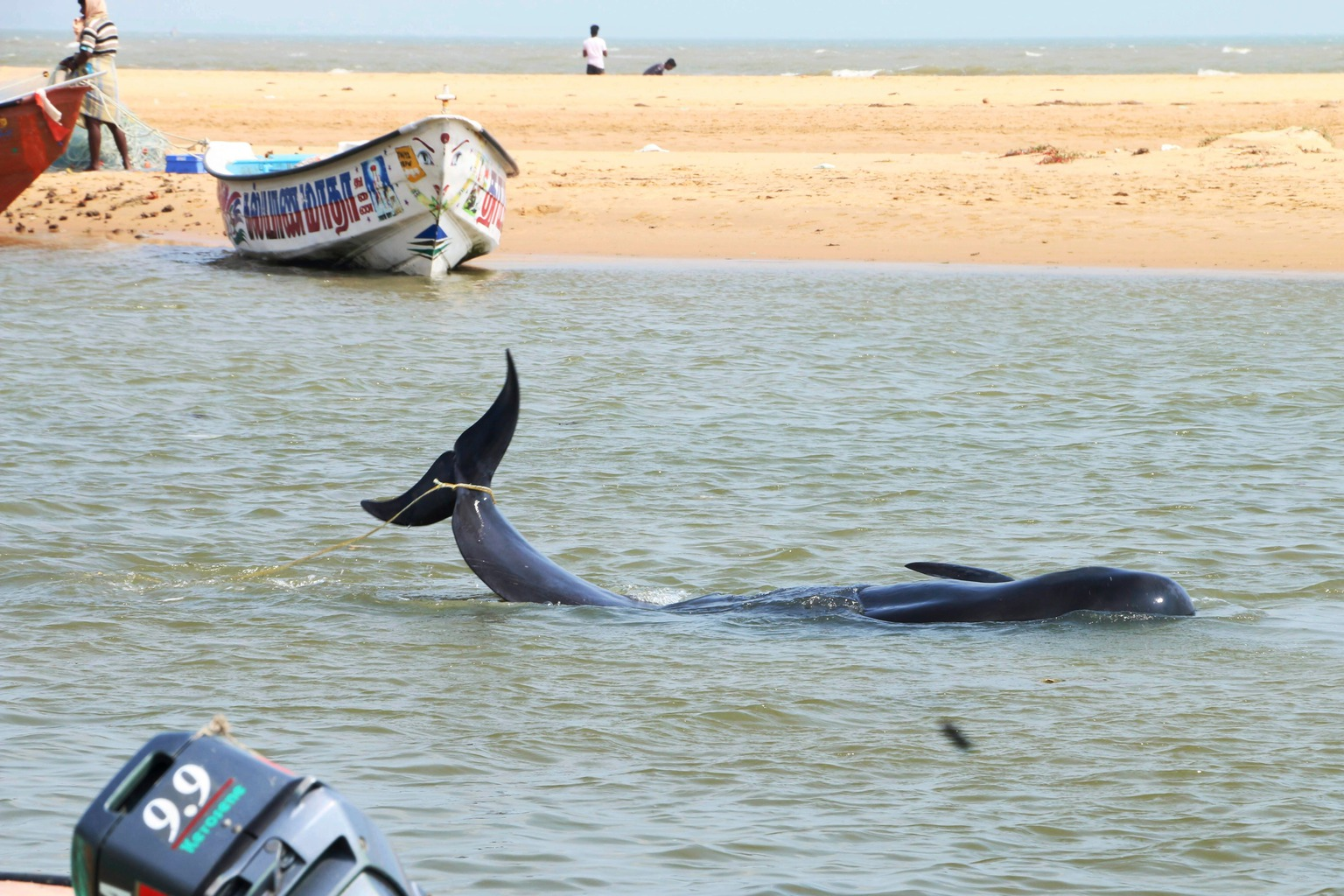 Manapad, 2016. január 12. Egy partra vetődött rövidszárnyú gömbölyűfejű-delfin a dél-indiai Tamil Nadu államban fekvő Manapad tengerpartján 2016. január 12-én. Több mint nyolcvan rövidszárnyú gömbölyűfejű-delfin vetődött partra, illetve rekedt a sekély öblök vizeiben a halászfalu környékén. (MTI/AP/Senthil Arumugam)