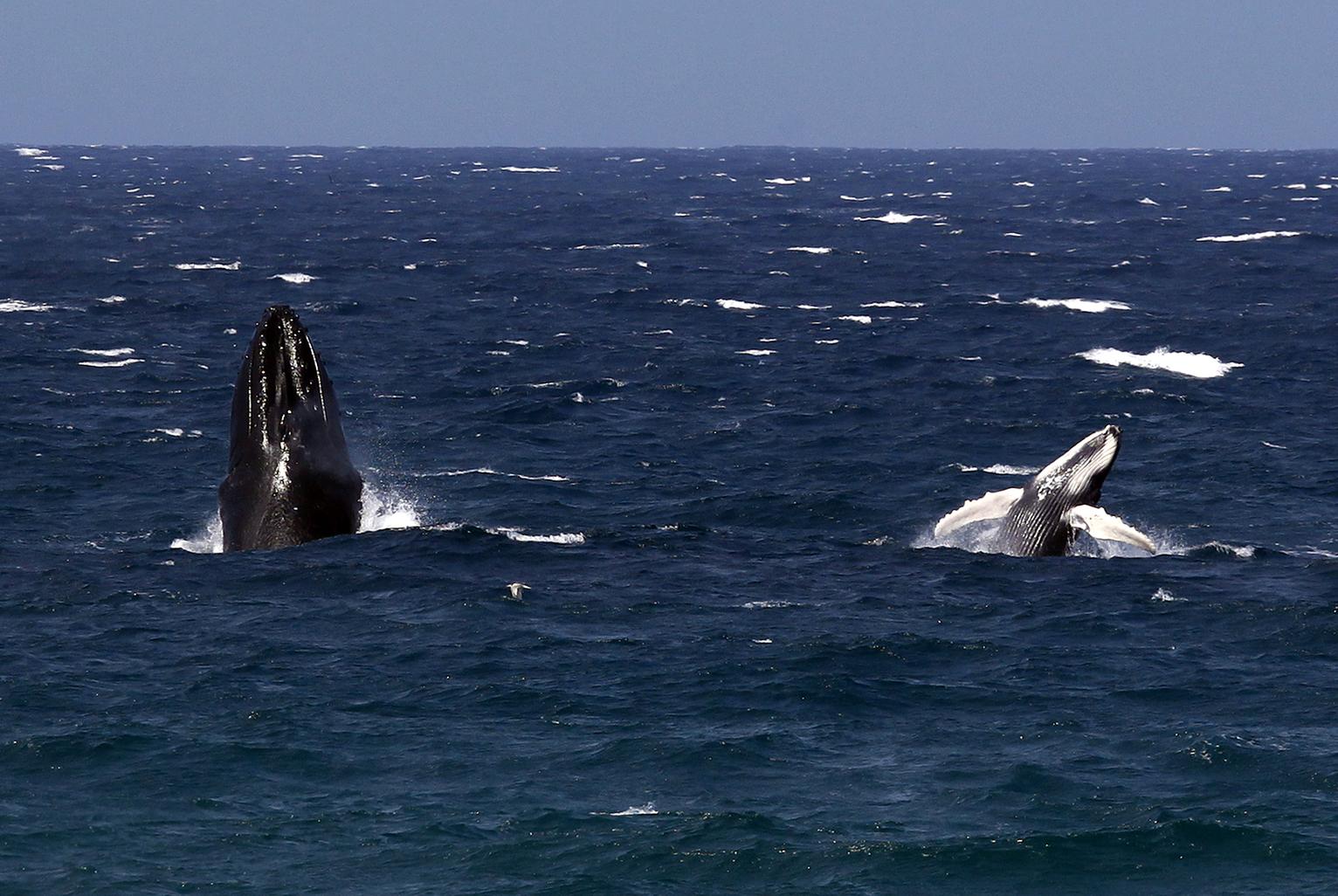 Hosszúszárnyú bálna és borja együtt ugrik ki a vízből Új-Dél-Walesnél. (Fotó: Reuters/ David Gray)