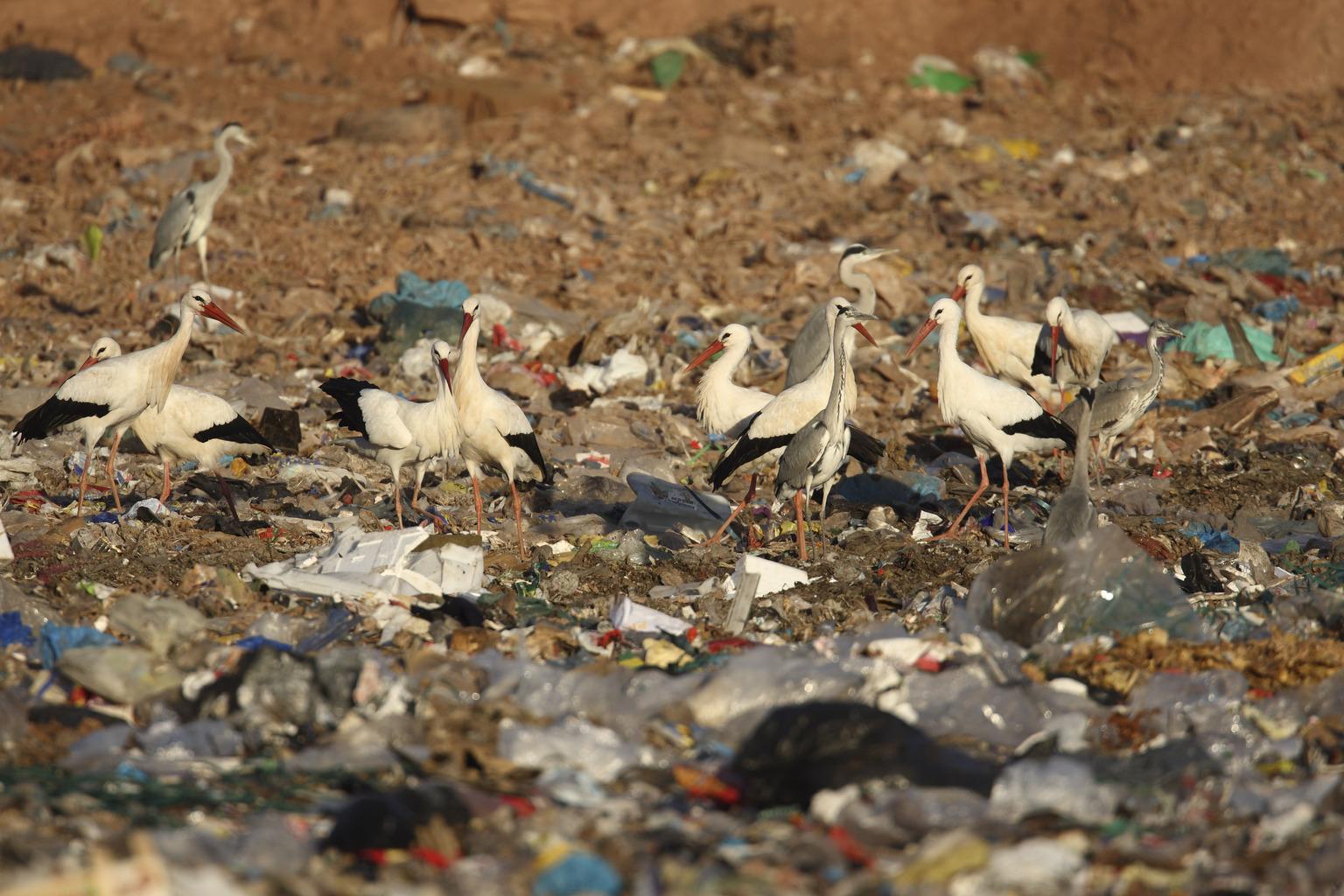 Fehér gólyák szemétlerakóban Spanyolországban AFP