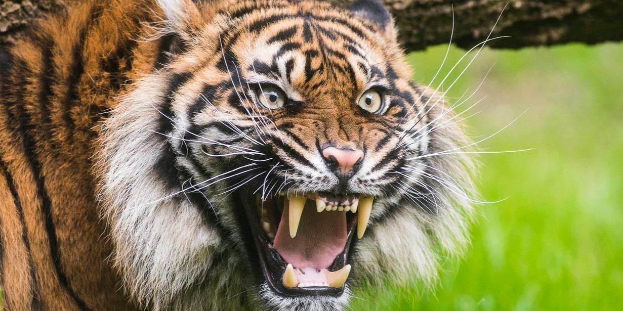 Lara, a kétéves nőstény szumátrai tigris (Panthera tigris sumatrae) új kifutójában a Nyíregyházi Állatparkban 2015. május 7-én. MTI Fotó: Balázs Attila
