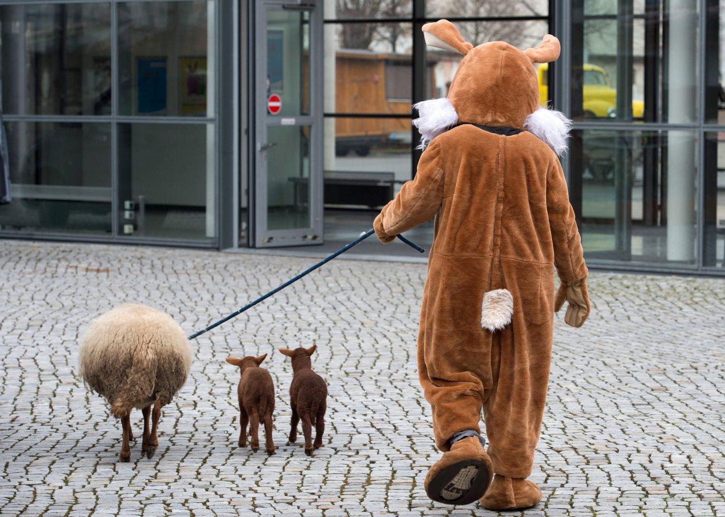 Húsvéti nyúl-jelmezben sétáltat három bárányt egy ember Drezdában. MTI/EPA Fotó