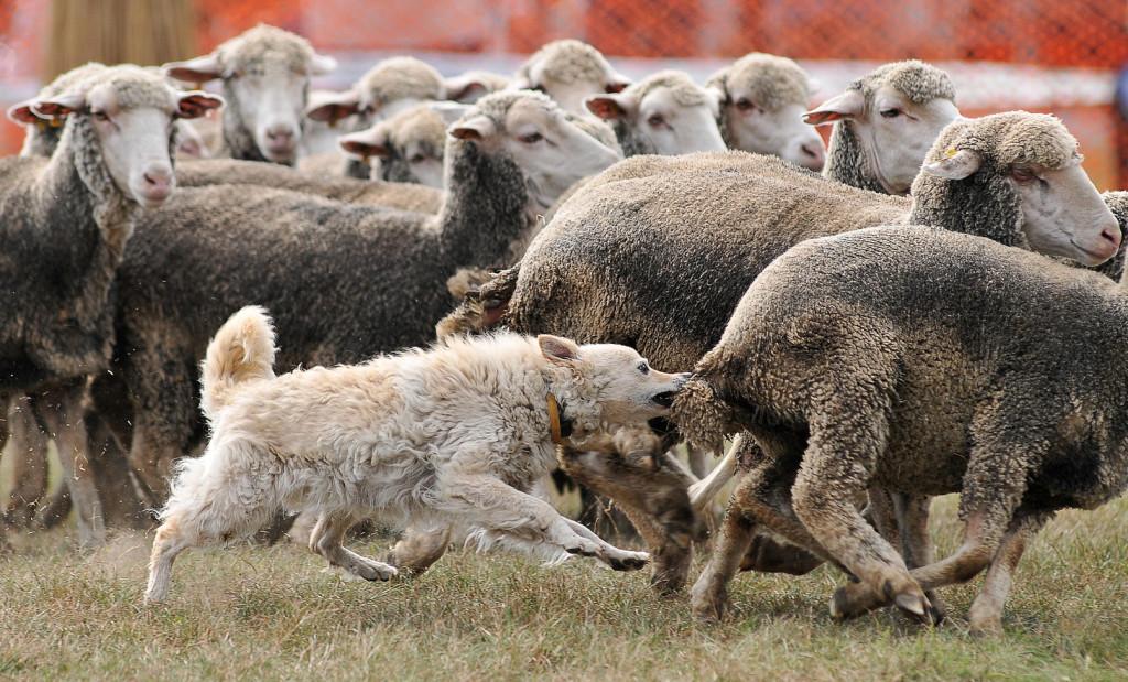 Hortobágy község, 2011. szeptember 17. Kiss Gábor Nudli nevű, mudi fajtájú kutyája juhokat terel a hortobágyi pásztorok és magyar hagyományőrző pásztorkutyások találkozóján, Hortobágyon. Az eseményen a pumi, puli és a mudi fajták tenyészszemléje mellett országos terelőbajnokságot is rendeztek. MTI Fotó: Czeglédi Zsolt