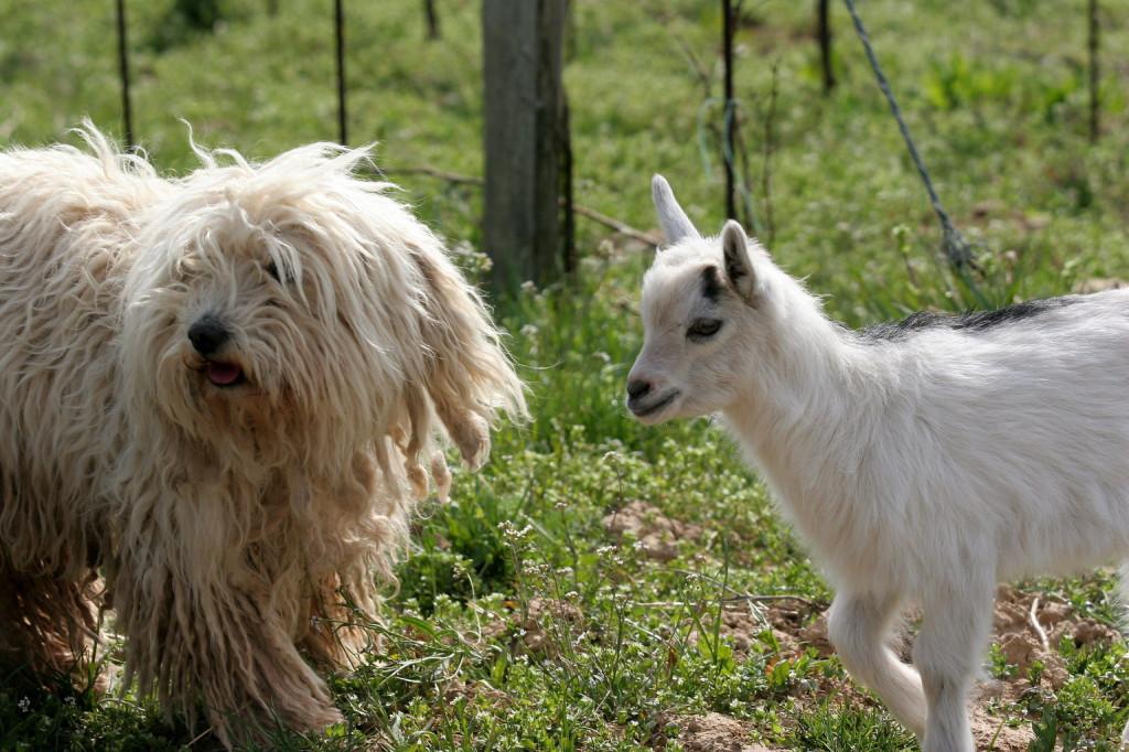 Felsőörs, 2008. április 8. A Felsőörsön lakó Veingartner Csabáéknál családtagként nevelik Mimit, az egyhónapos kecskegidát (j). A kis gida gazdájával és szüleivel, Marcival, az apjával, valamint Micivel, az anyjával szokott sétálni a felsőörsi szőlőskertek között. A csapathoz tartozik még Pille, a nyolcéves puli (b), a kisgida legjobb barátja, és játszótársa. MTI Fotó: Nagy Lajos