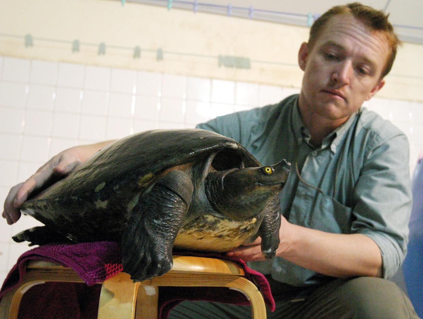 Martin Gilbert, a Wildlife Conservation Society állatorvosa az igen ritka, kambodzsai királyi teknőssel Phnom Penhben, 2005 júliusában. Az egyedet a lábába implantált mikrochip révén sikerült kimenteni egy kínai levesesfazékból. (Fotó: Reuters/ Sokunthea)