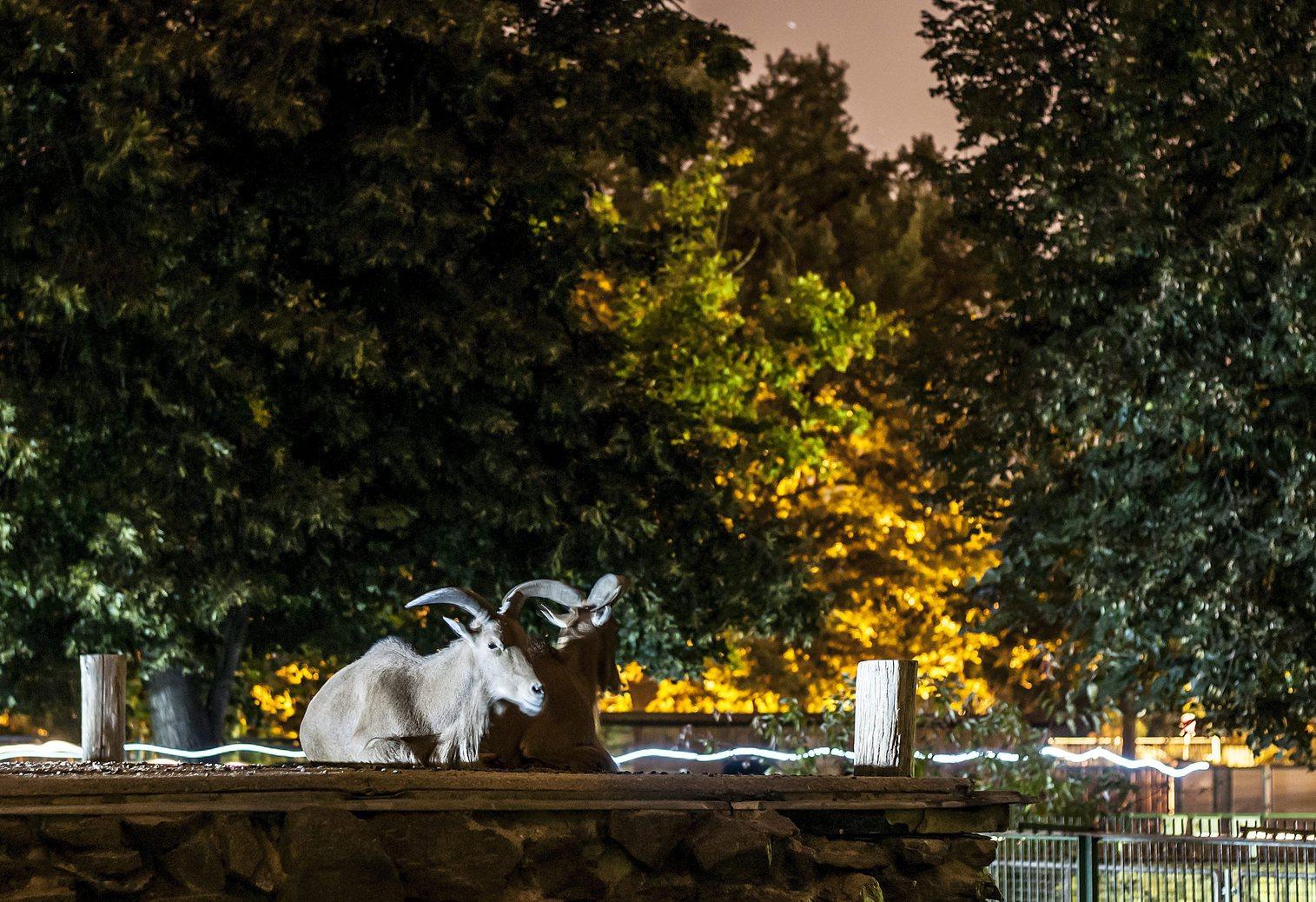 Sörényes juhok (Ammotragus lervia)a Debreceni Állat- és Növénykertben az állatkertek éjszakáján 2013. augusztus 30-án. MTI Fotó: Czeglédi Zsolt