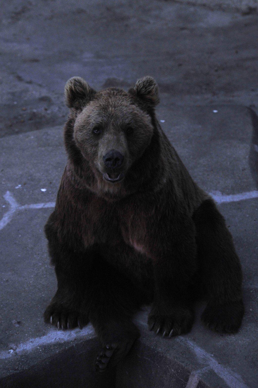 Barna medve ül kifutójában az Állatkertek éjszakája rendezvényen a Fővárosi Állat- és Növénykertben 2015. augusztus 28-án este. MTI Fotó: Kovács Attila