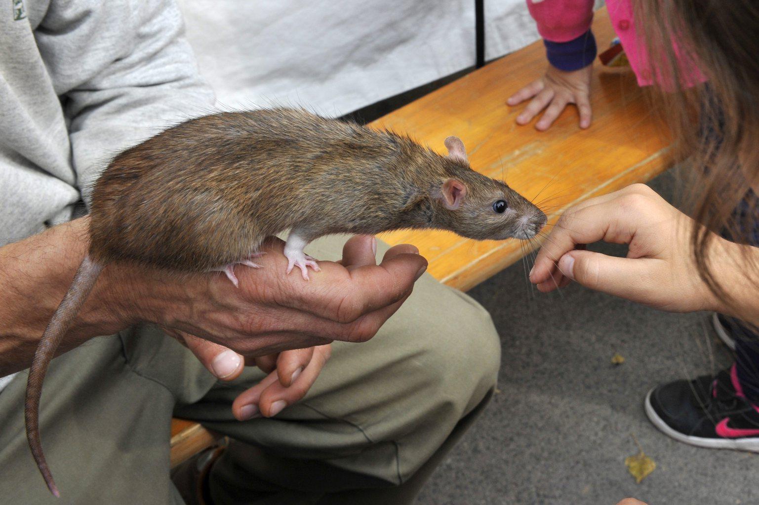 Vándorpatkánnyal barátkoznak gyerekek a bemutatós állatok standján az Állatszeretet Fesztivál megnyitója után a Fővárosi Állat- és Növénykertben 2014. október 1-jén. Az ötnapos fesztivál keretében többek között az állatok egészségével, gondozásával kapcsolatos kulisszatitkokat ismerhetik meg a látogatók az állatkertben, de kínálnak programokat az állatkert partnerszervezetei is. MTI Fotó: Kovács Attila