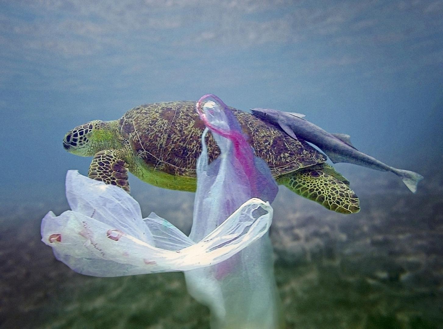 Tengeri teknős műanyaghulladék között. (Fotó: AFP)