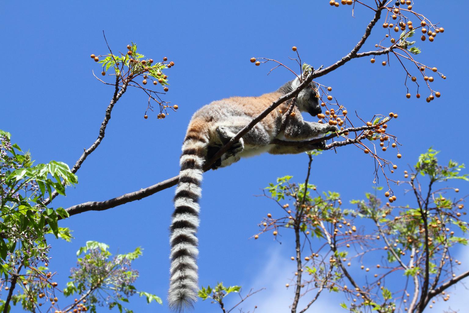 Gyűrűsfarkú maki Madagaszkáron. (Fotó: AFP)