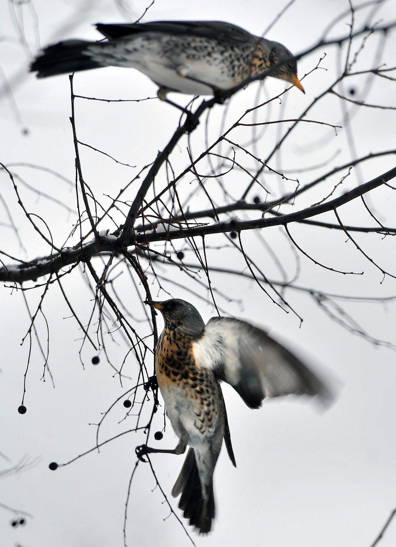 Fenyőrigók (Turdus pilaris) eszik az ostorfa bogyóit egy budapesti kertben 2013. február 10-én. Az Észak- Európában honos fészkelő a Kárpát-medencében ritka. Egyedei táplálékszerzés céljából húzódnak délebbi vidékekre. A fenyőrigó Magyarországon védett faj. MTI Fotó: Máthé Zoltán
