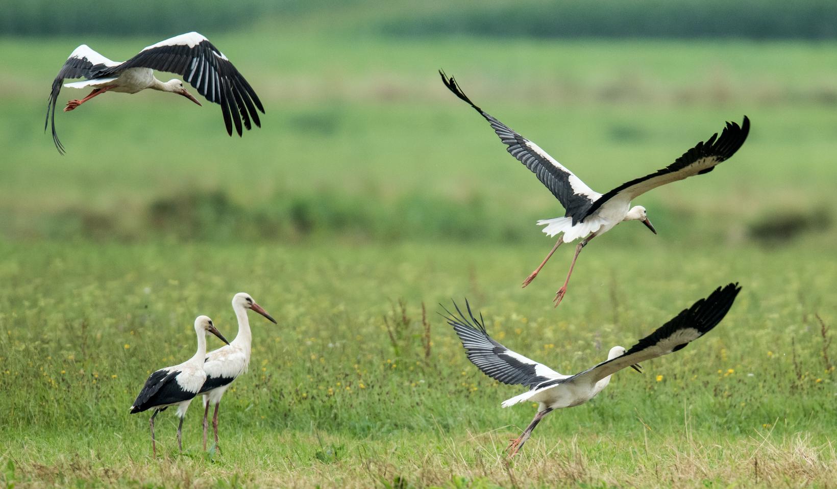 Úton vannak hazafelé a gólyák