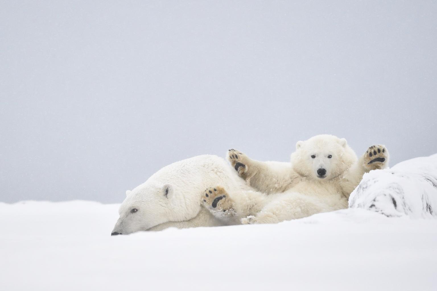 Jegesmedvék Alaszkában. (Fotó: AFP)