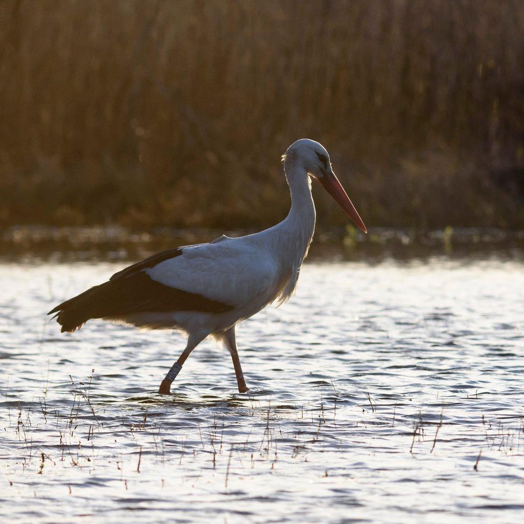 Épségben hazatért a jeladós fehér gólya