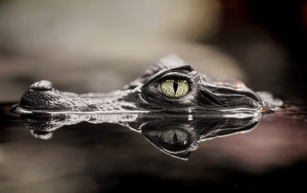 Drogos aligátoroktól tartanak Amerikában