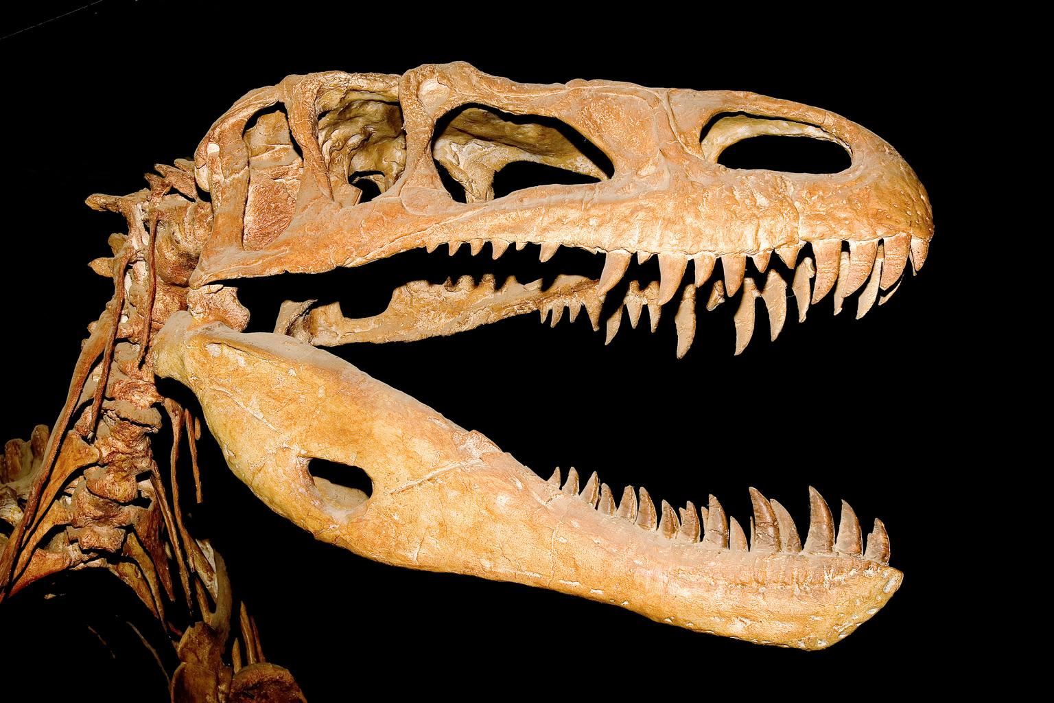 illusztráció - Afrovenator abakensis theropoda dinosuaurusz 135 millió éves koponyája. (Fotó: AFP)