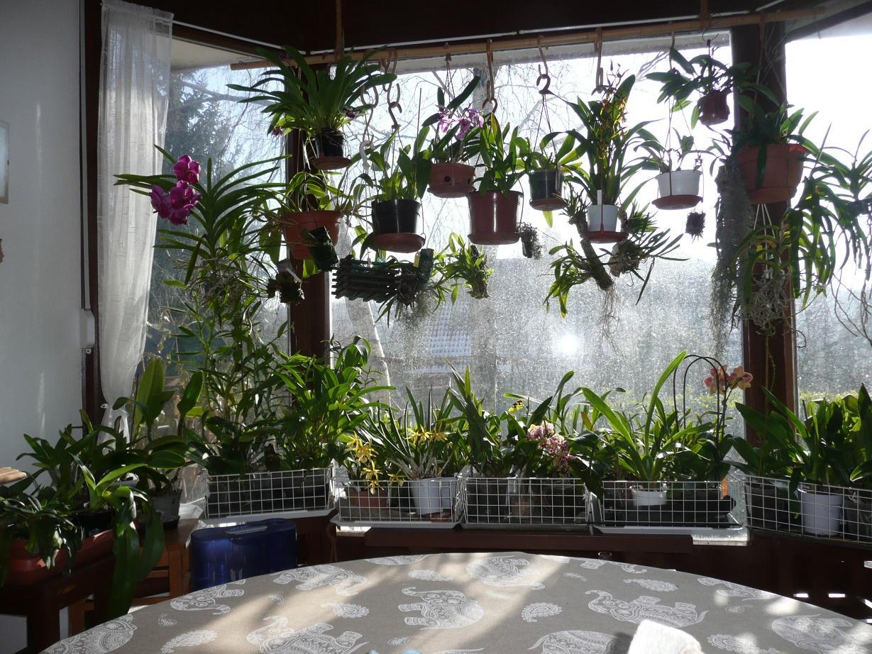Orchideák a lakásban. (Fotó: Magyar Orchidea Társaság)