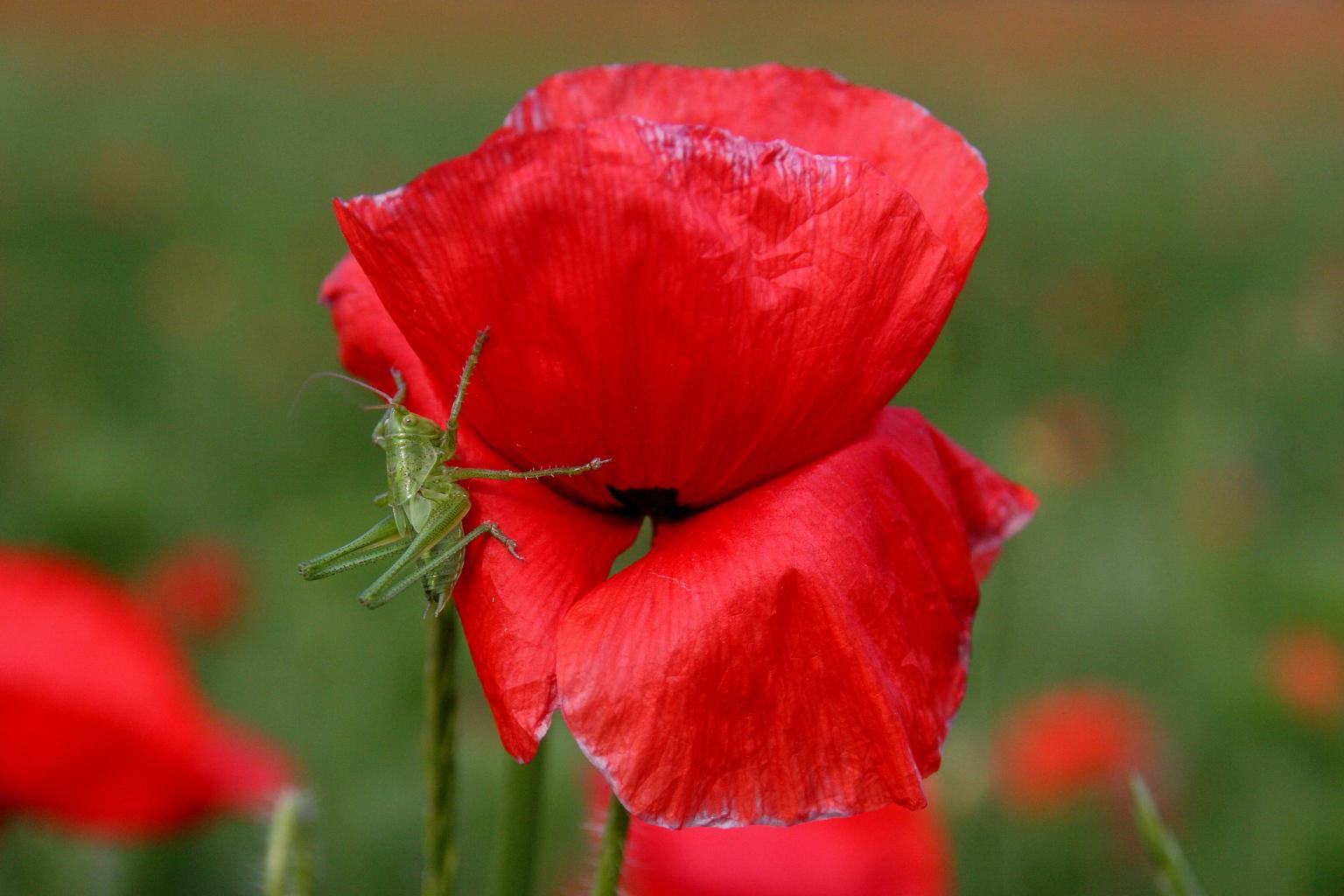 A mákfélék családjába tartozó pipacs virágzik Köveskál határában. MTI Fotó: Nagy Lajos