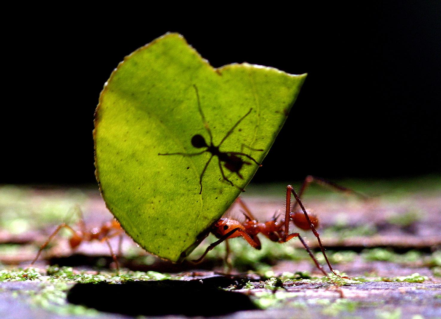 Levélvágó hangya levelet szállít társával egy Costa Rica-i erdőben. (Fotó: Reuters/ Juan Carlos Ulate)