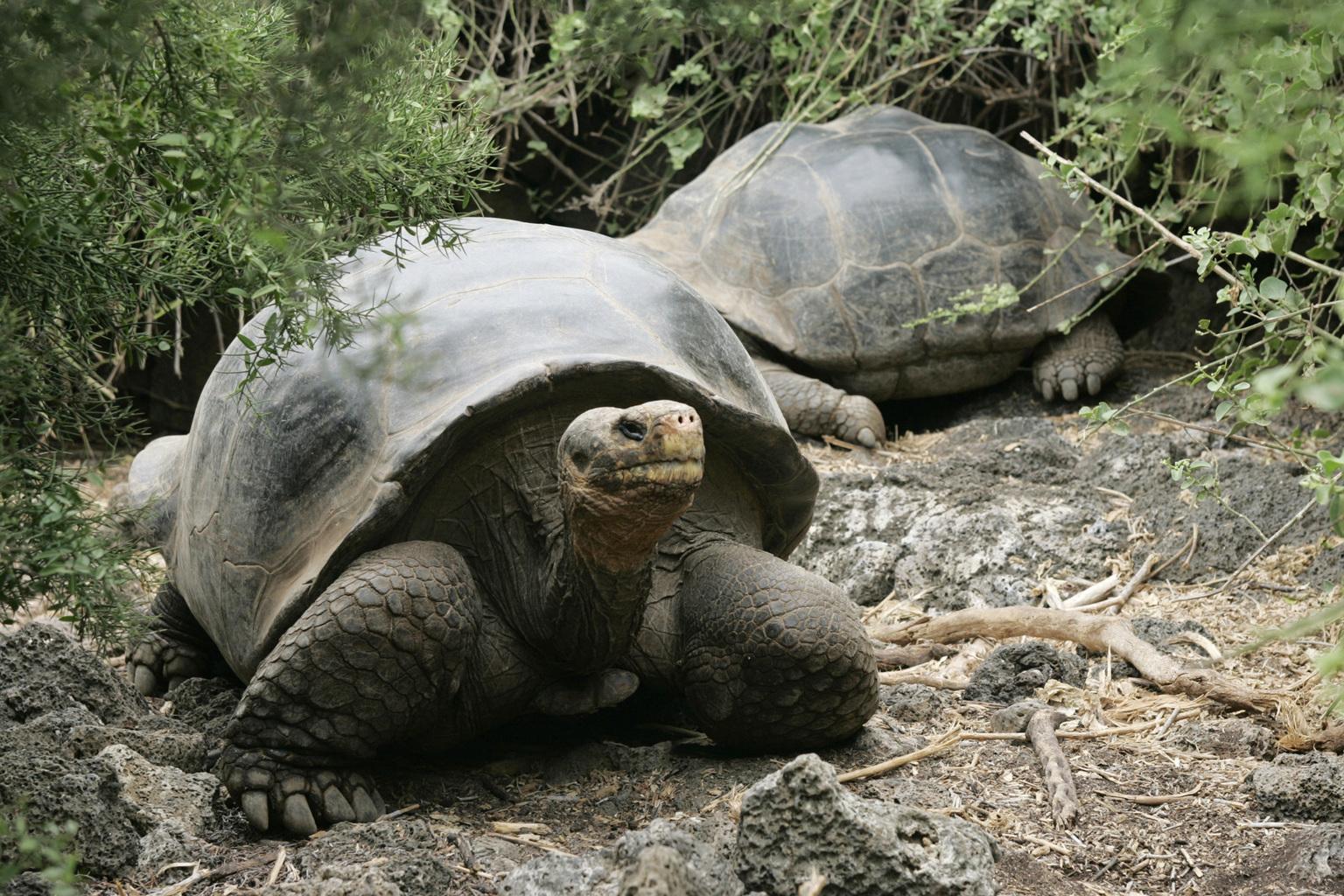 Óriásteknősök a Galápagoson. (Fotó: Reuters/ Guillermo Granja)