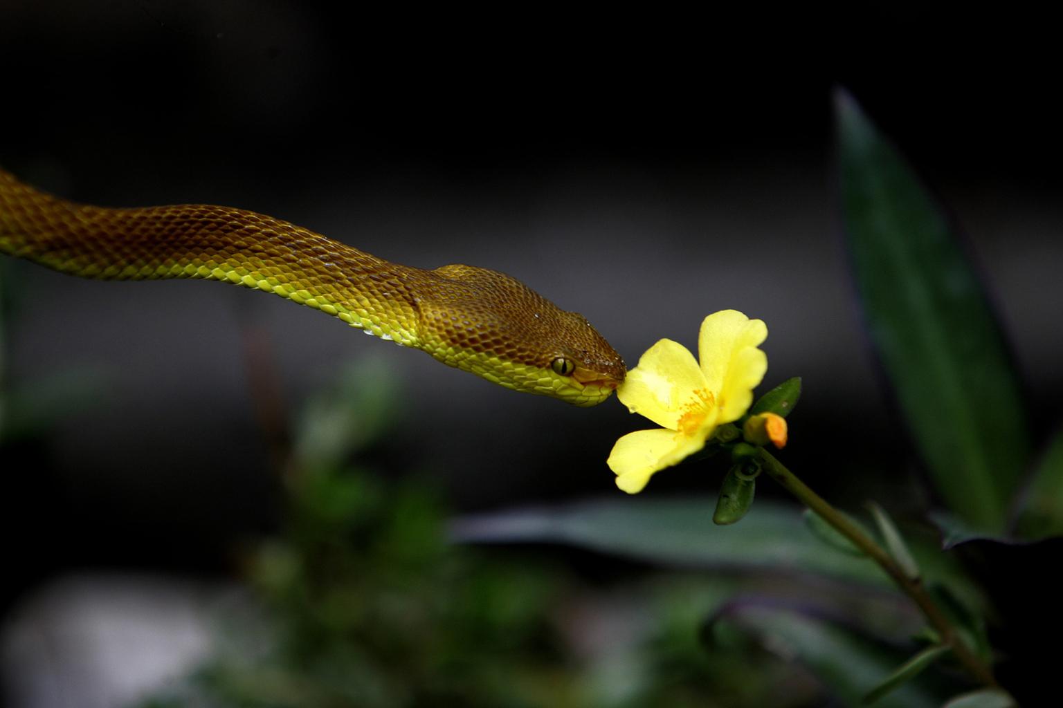 Lándzsakígyó harmatcseppeket iszik virágról. (Fotó: Reuters//Rupak De Chowdhuri)