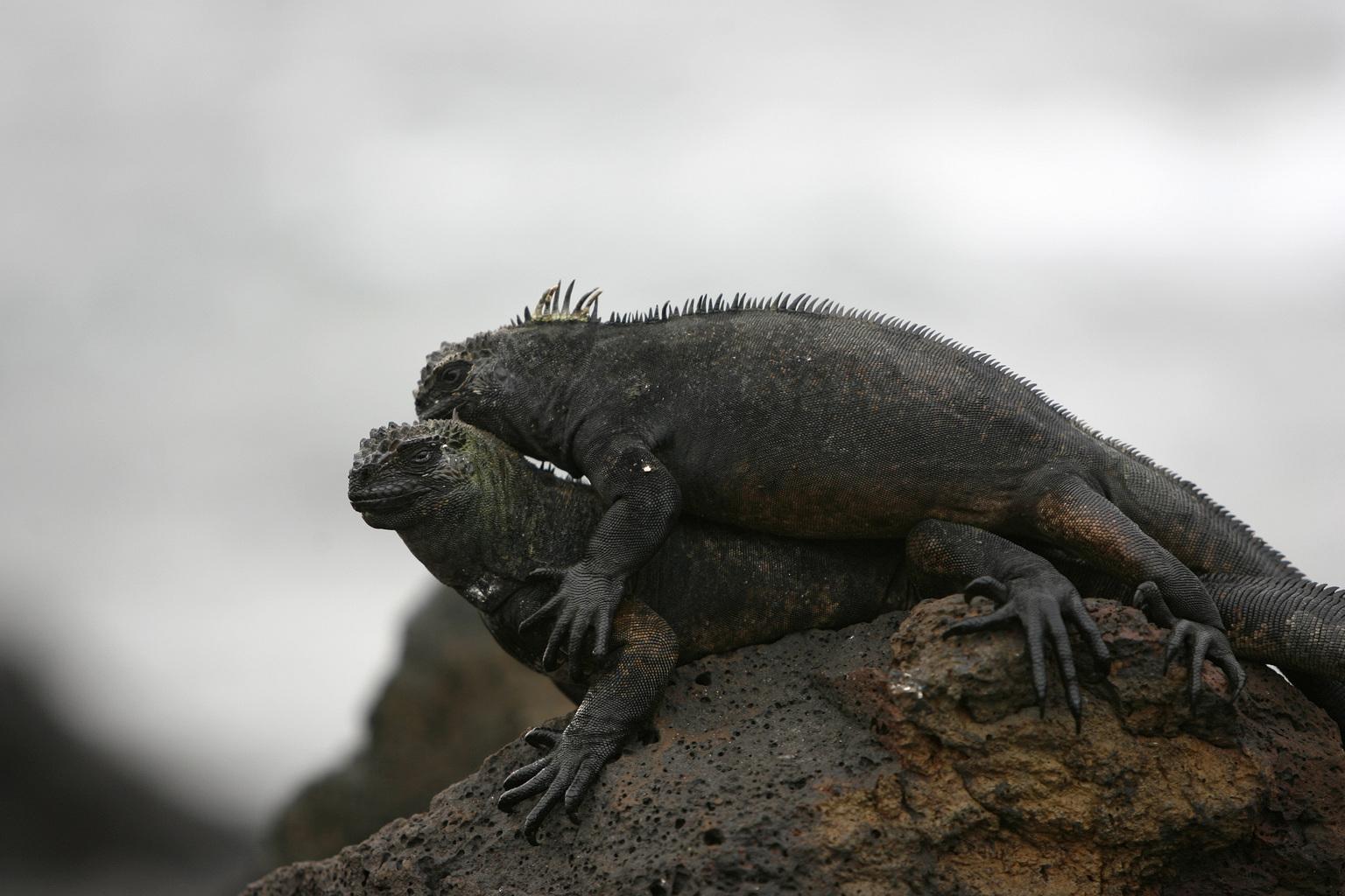 Tengeri leguánok a Santa Cruz-szigeten. (Fotó: Reuters/Guillermo Granja)