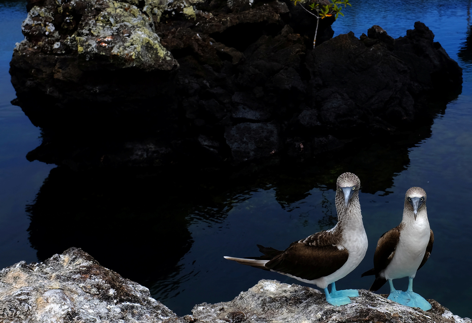 Kéklábú szulák az Isabela-szigeten. (Fotó: Reuters/Nacho Doce)