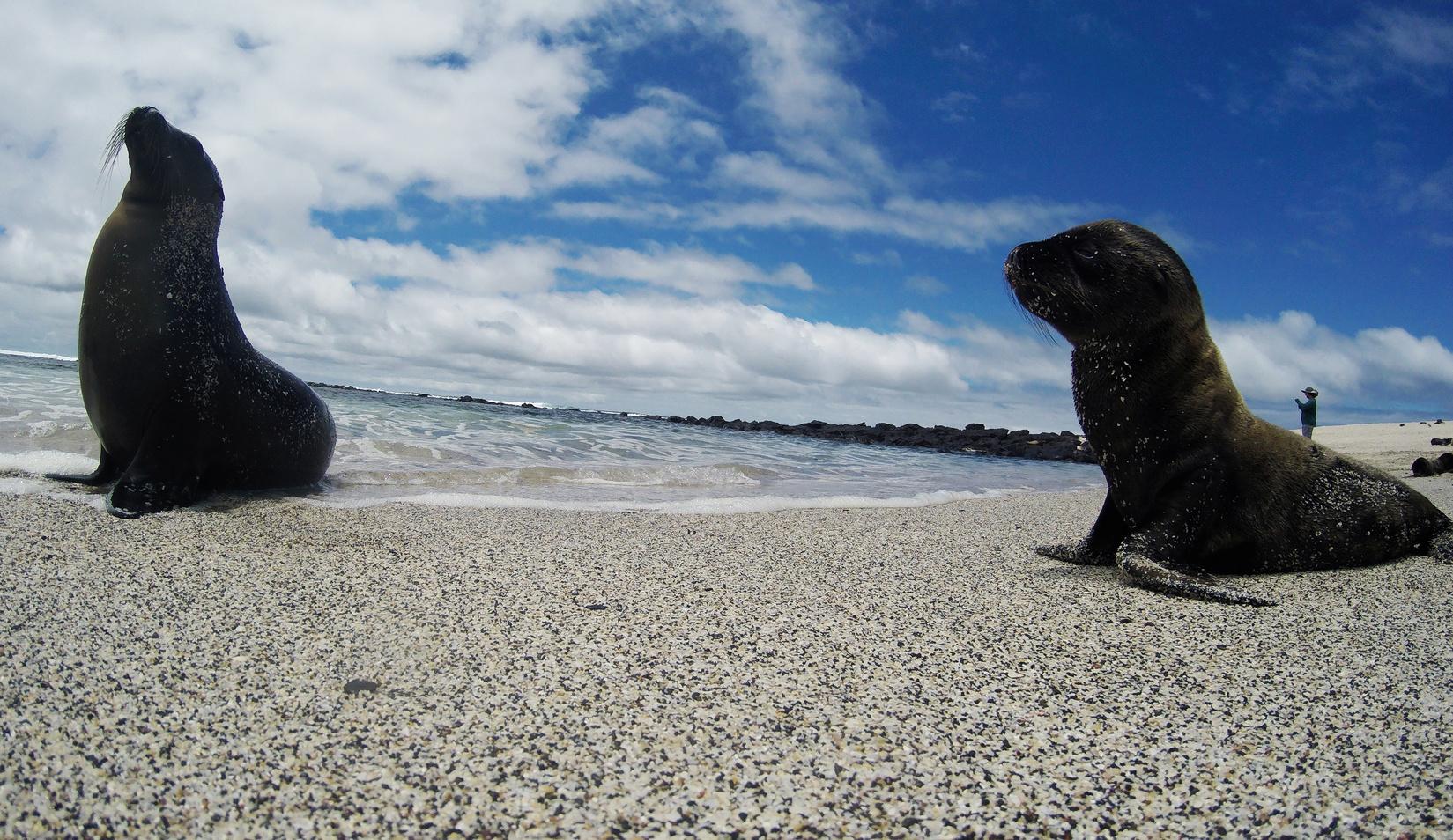 Oroszlánfókák a San Cristóbal-szigeten. (Fotó: Reuters/Nacho Doce)