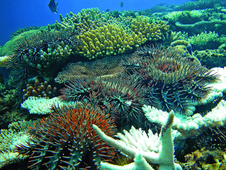 Korallokkal táplálkozó töviskoronás tengericsillagok. (Fotó: AFP)