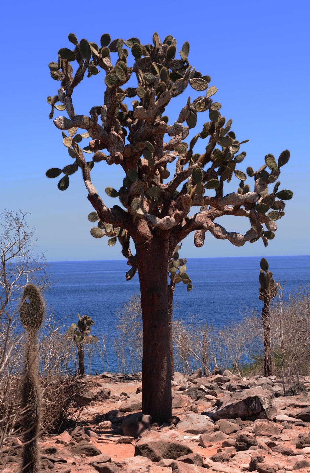 Kaktuszfa az ember által lakatlan Santa Fé-szigeten, a Galápagos-szigetvilágban.(Fotó: AFP)