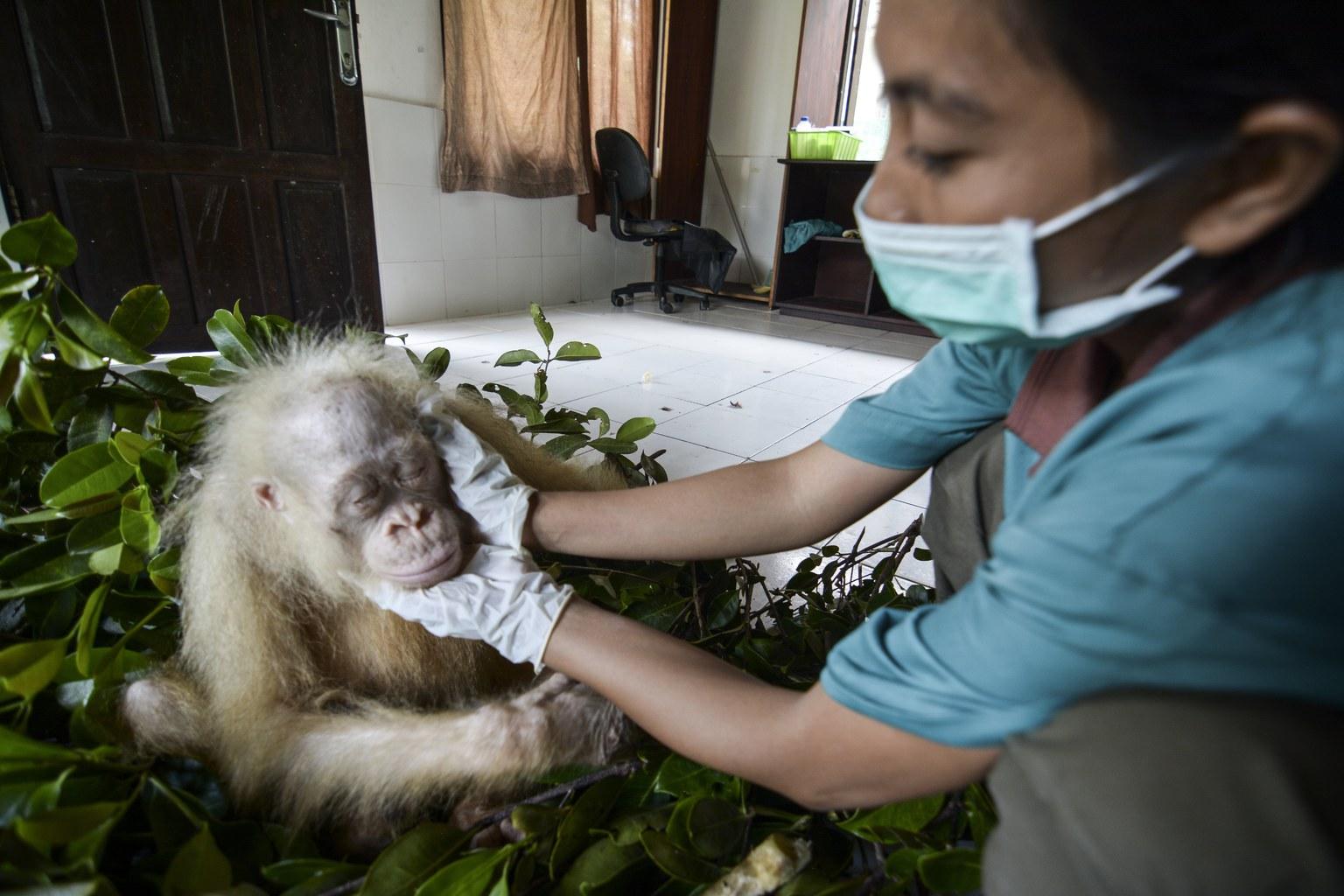 Az alapítvány által május 10-én közreadott képen egy gondozó vizsgálja az albínó orangutánt a rehabilitációs központban. (Fotó: EPA/Indrayana/BOSF)